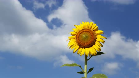 girassóis :  Timelapse of sunflower with blue sky and cloud Vídeos