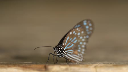 tiger butterfly : Dark Blue Tiger butterfly Tirumala septentrionis on wood