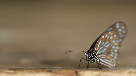 tiger butterfly : panning shot of Dark Blue Tiger butterfly Tirumala septentrionis on wood Stock Footage