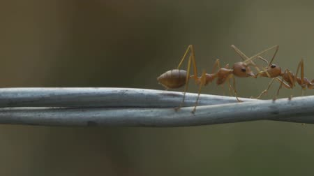 red ant colony walks across the wire Wideo