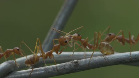 farpado : red ant colony walks across the wire Stock Footage
