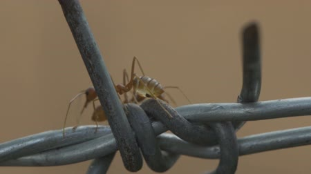 farpa : red ant colony walks across the wire Stock Footage