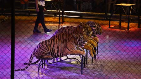 cativeiro : four bengal tiger in cage