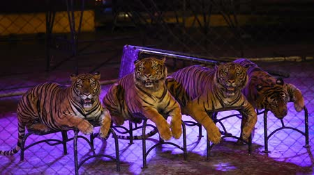 bengal cat : four bengal tiger in cage