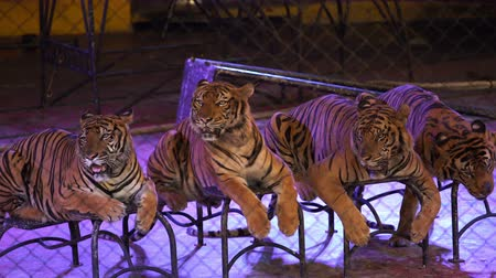 four bengal tiger in cage
