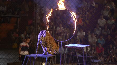 CHONBURI, THAILAND, MARCH 1, 2018: bengal tiger jump through ring of fire in a cage at a circus performance tricks, Cage of the Tigers at Sriracha Tiger Zoo, Thailand Wideo