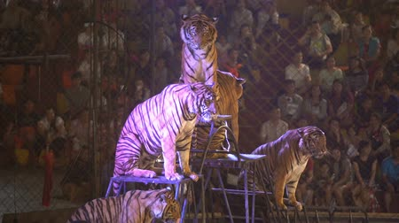 crocodilo : CHONBURI, THAILAND, MARCH 1, 2018: bengal tiger in a cage at a circus performance tricks, Cage of the Tigers at Sriracha Tiger Zoo, Thailand