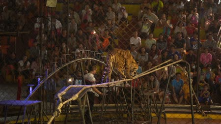 CHONBURI, THAILAND, MARCH 1, 2018: bengal tiger walking on rope in a cage at a circus performance tricks, Cage of the Tigers at Sriracha Tiger Zoo, Thailand 影像素材