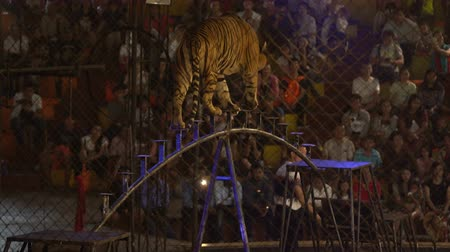 gato selvagem : CHONBURI, THAILAND, MARCH 1, 2018: bengal tiger walking on steel bar in a cage at a circus performance tricks, Cage of the Tigers at Sriracha Tiger Zoo, Thailand Stock Footage
