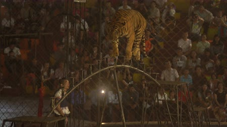 bengália : CHONBURI, THAILAND, MARCH 1, 2018: bengal tiger walking on steel bar in a cage at a circus performance tricks, Cage of the Tigers at Sriracha Tiger Zoo, Thailand Stock mozgókép
