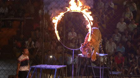 CHONBURI, THAILAND, MARCH 1, 2018: bengal tiger jump through ring of fire in a cage at a circus performance tricks, Cage of the Tigers at Sriracha Tiger Zoo, Thailand 影像素材