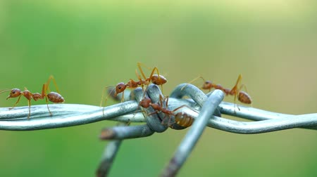 red ant colony walking across the wire 影像素材