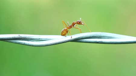 prikkeldraad : red ant colony walking across the wire Stockvideo