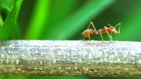 ant : red ant colony on branch Stock Footage