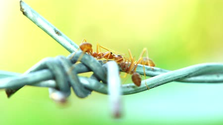 Ants were kissing on the wire 影像素材