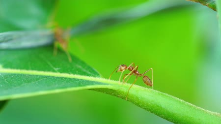 red ant : red ant colony on branch Stock Footage