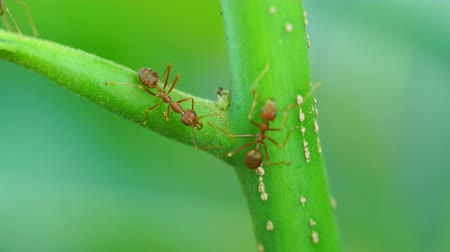 red ant colony on branch 影像素材