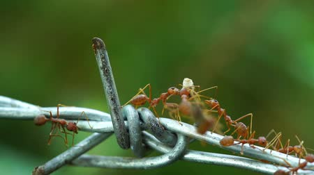 farpado : ants carrying food on the wire