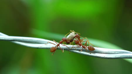 farpa : ants carrying food on the wire