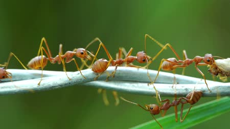 red ant : ants carrying food on the wire