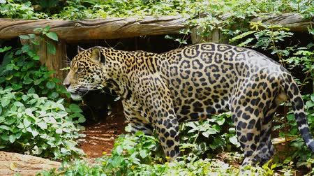 yaban kedisi : A jaguar resting in the forrest