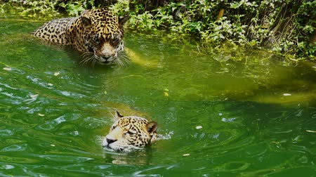 ヒョウ : Two jaguar playing and swimming in pond