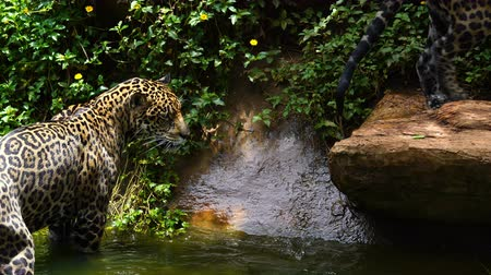 leopard cat : Two jaguar playing and swimming in pond