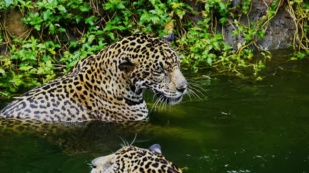 panthers : Slow-motion of Two jaguar playing and swimming in pond