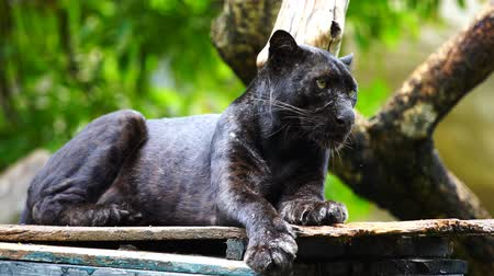 panthers : black panther resting in the forrest