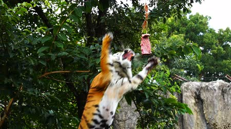 bengal cat : slow-motion of Bengal tiger jumping to eat meat