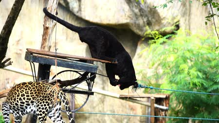 panthers : slow-motion of black panther eating meat