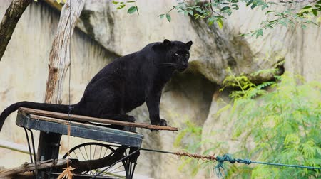 леопард : black panther resting in the forest