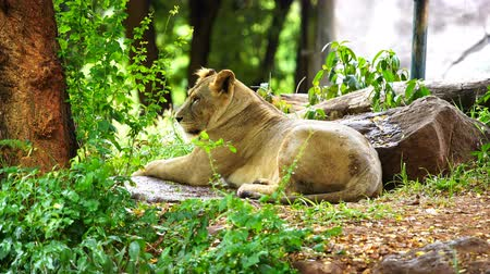 yaban kedisi : female lion resting near a tree