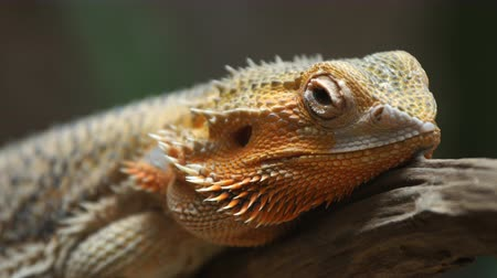pogona : common bearded dragon (Pogona barbata) on wood branch