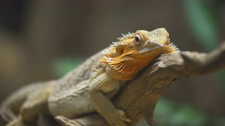 игуана : common bearded dragon (Pogona barbata) on wood branch