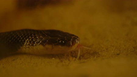 krait : slow-motion of Close up Blue Krait snake ( Bungarus candidus) Stock Footage