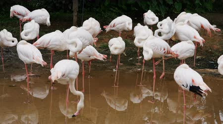 flamingi : flamingo or flamingoes are resting in pond