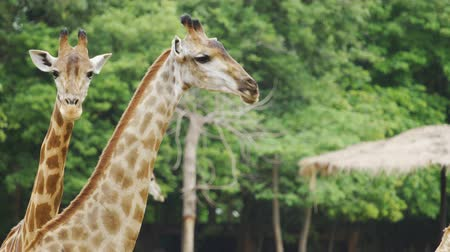 amboseli : Close-up of giraffe resting in nature Stock Footage