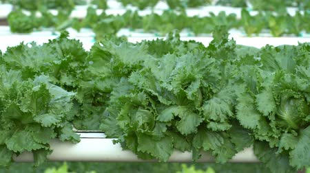hydroponic : panning shot of green lettuce hydroponics vegetable farming Stock Footage