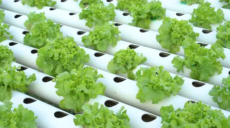hydroponic : panning shot of Green Oak hydroponics vegetable farming
