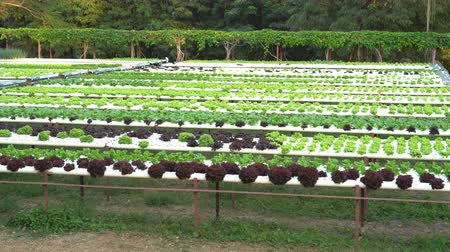 hidro : panning shot of green lettuce hydroponics vegetable farming Stok Video