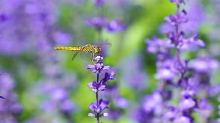 libélula : close-up of dragonfly on Lavender flower
