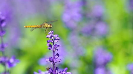 ważka : close-up of dragonfly on Lavender flower