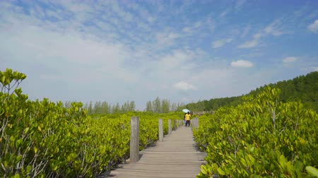 mangrove trees : RAYONG, THAILAND - JAN 6, 2019 , Unidentified people visited green mangrove forest at Tung Prong Thong or Golden Mangrove Field, Rayong, Thailand