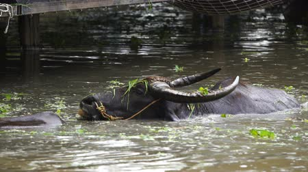 hovězí : slow-motion of water buffalo is playing and swimming in the pond