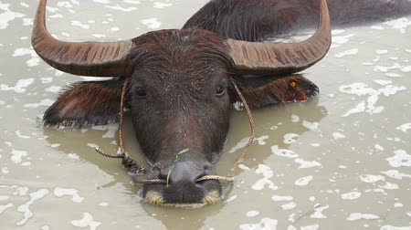 búfalo : slow-motion of water buffalo playing water in the pond