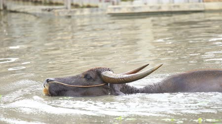 búfalo : panning shot of water buffalo is playing and swimming in the pond
