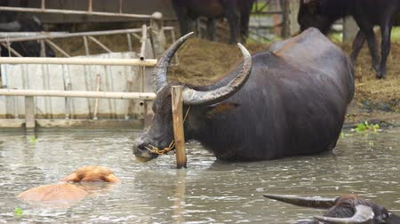 búfalo : water buffalo resting in pond Stock Footage