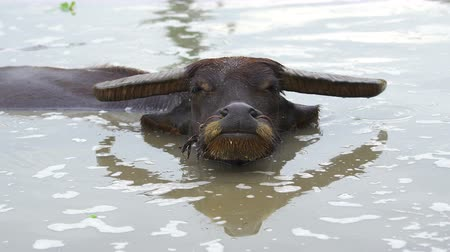 beest : close-up water buffalo playing water in the pond