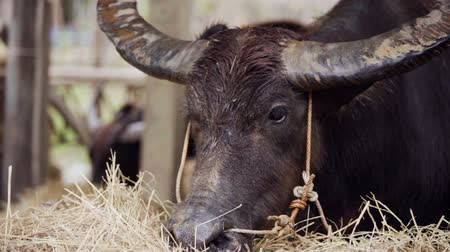 hovězí : slow-motion of water buffalo eating dry grass